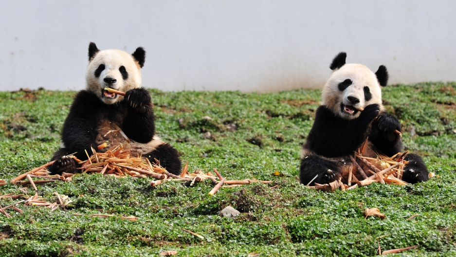 China's giant pandas are running out of bamboo | Public Radio
