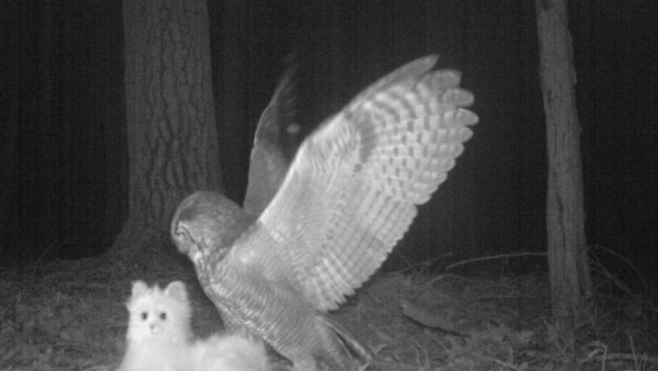 rchers planted this camera trap (complete with robotic toy cat) in order to study what local species prey on cats. Here, a great horned owl takes the bait. The cat was found not far away, mostly intact, suggesting that the owl probably discovered the ruse