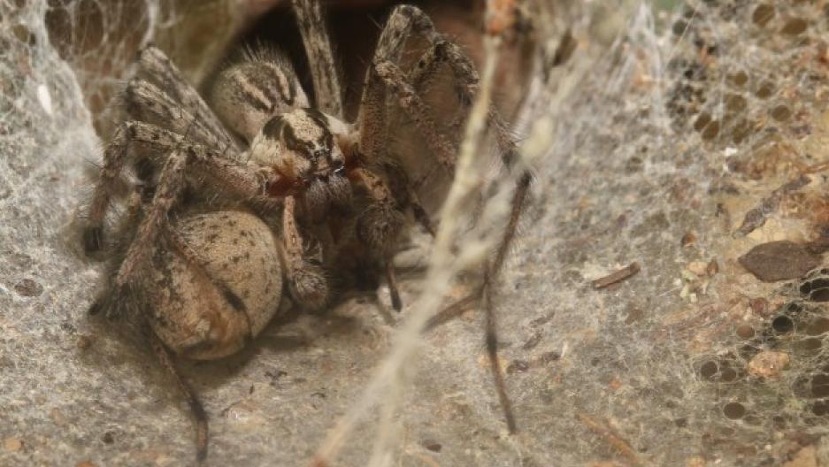 Agelenopsis aperta mating. Photo by Sean McCann