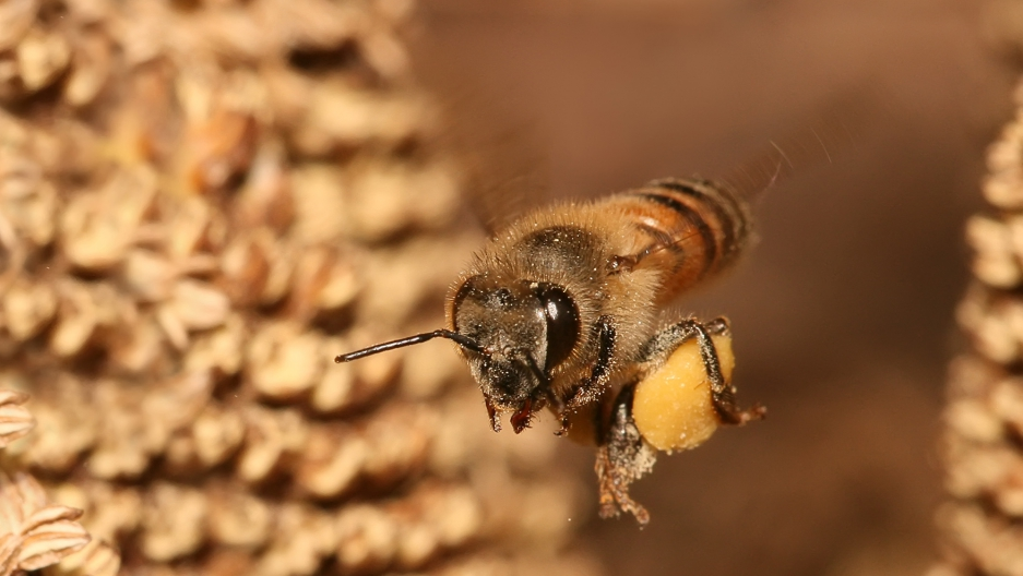 Honeybee asian stream