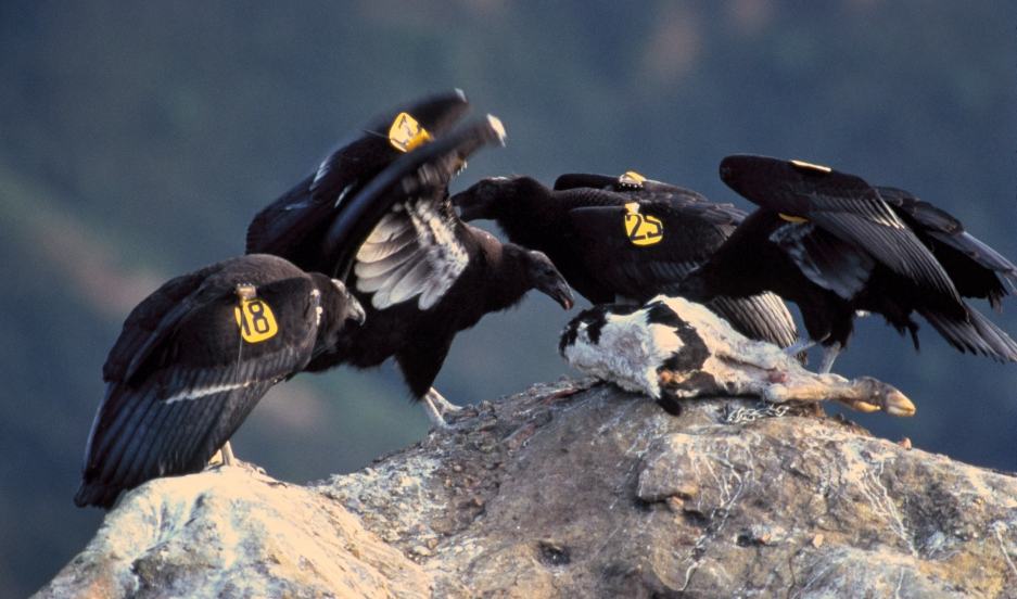American condors