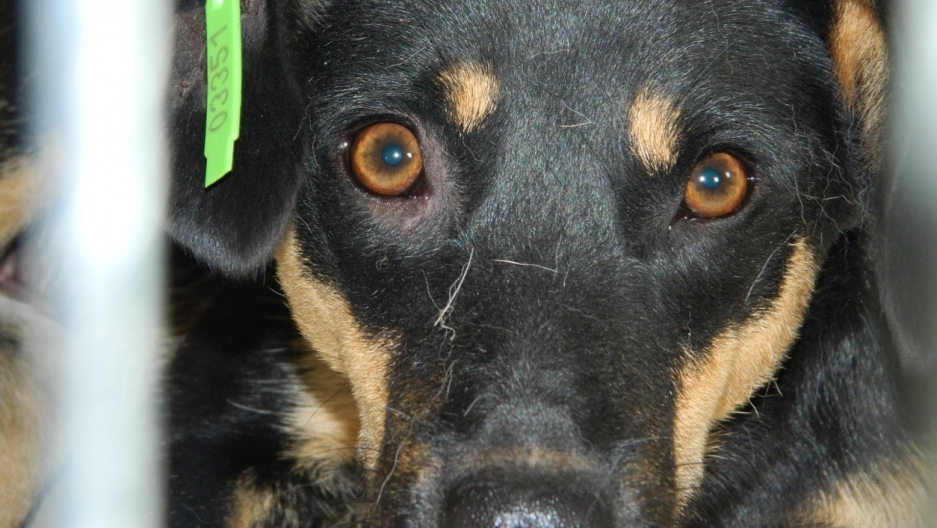 Stray dogs get ear tags, rabies vaccines in Ukraine