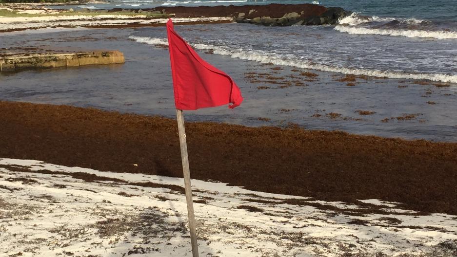 Seaweed in Barbados