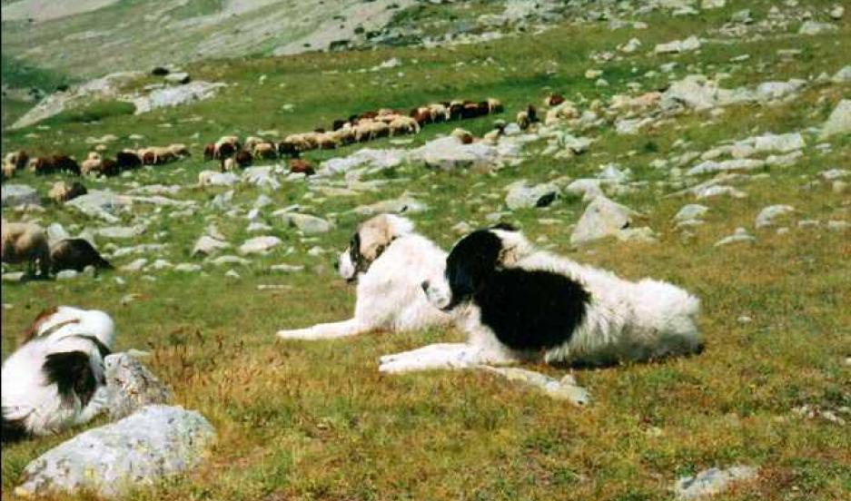 Karakachan dogs, from Bulgaria, have a history of guarding livestock ...