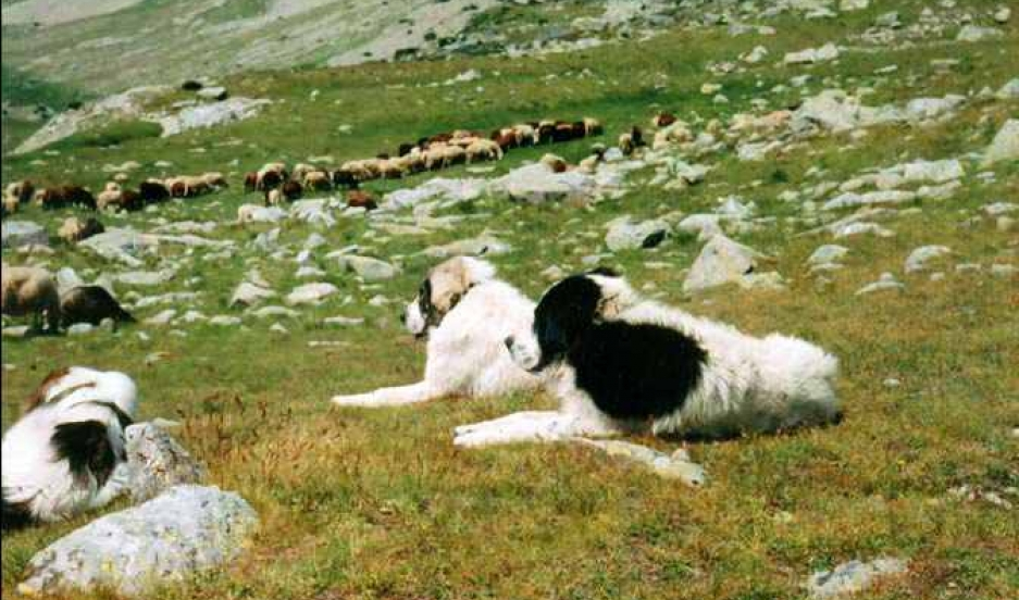 Dog Breeds Which Can Protect Cattle From Wolves