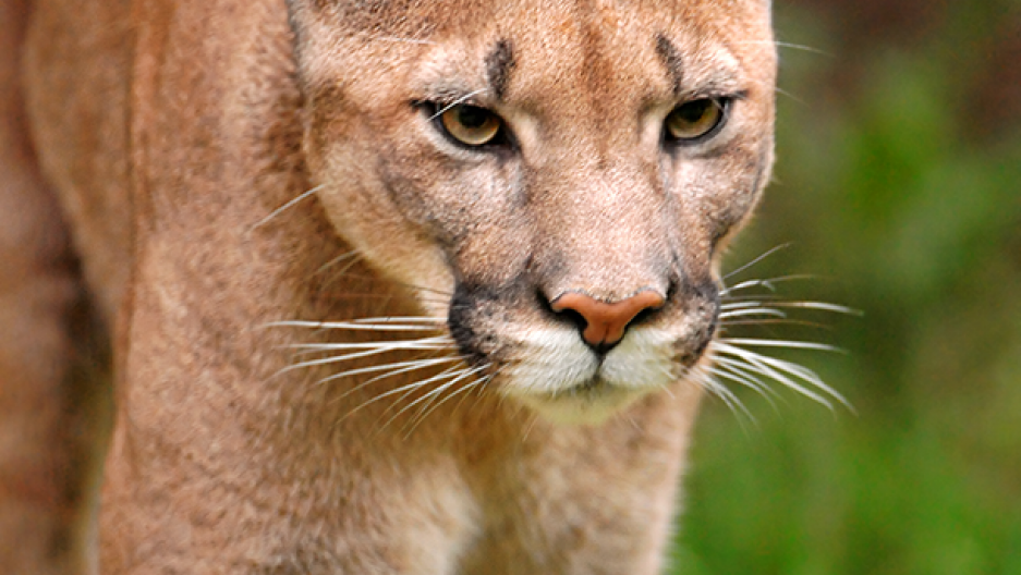 How Old Is A Cougar Considered