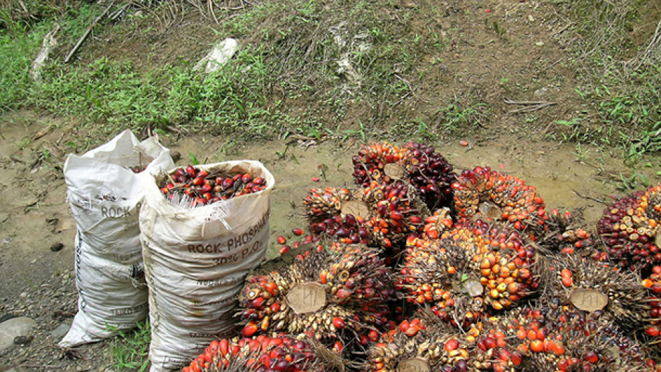 Elaeis guineensis — an oil palm tree