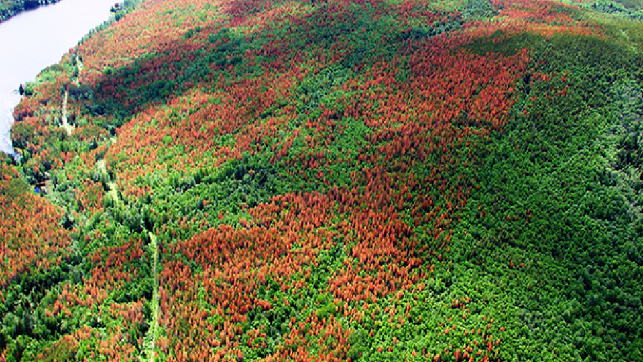The Pine Bark Beetle is one of the major threats to Western forests (Photo: Simon Fraser University, Flickr CC BY 2.0)