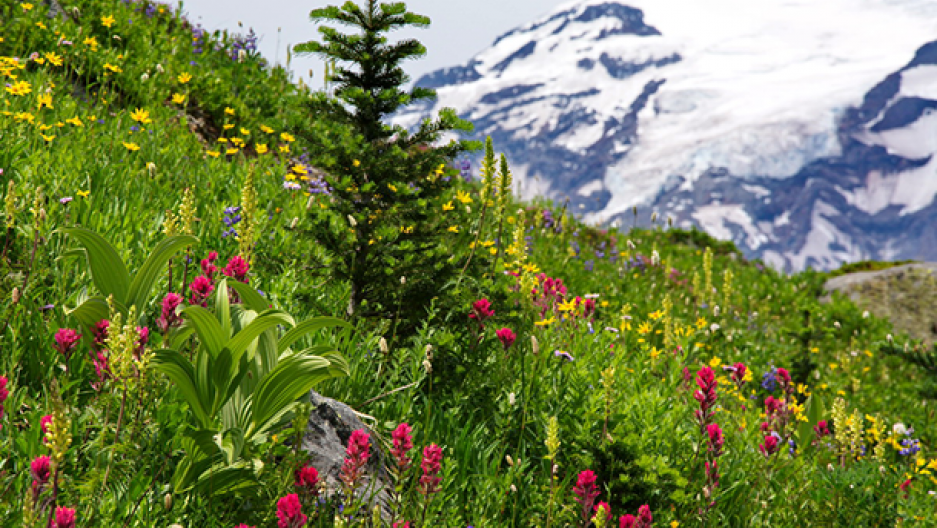 The warming world is changing when wildflowers bloom in National Parks like Mt. Rainier in Washington State (Photo: Jim Culp, Flickr CC BY-NC-ND 2.0)