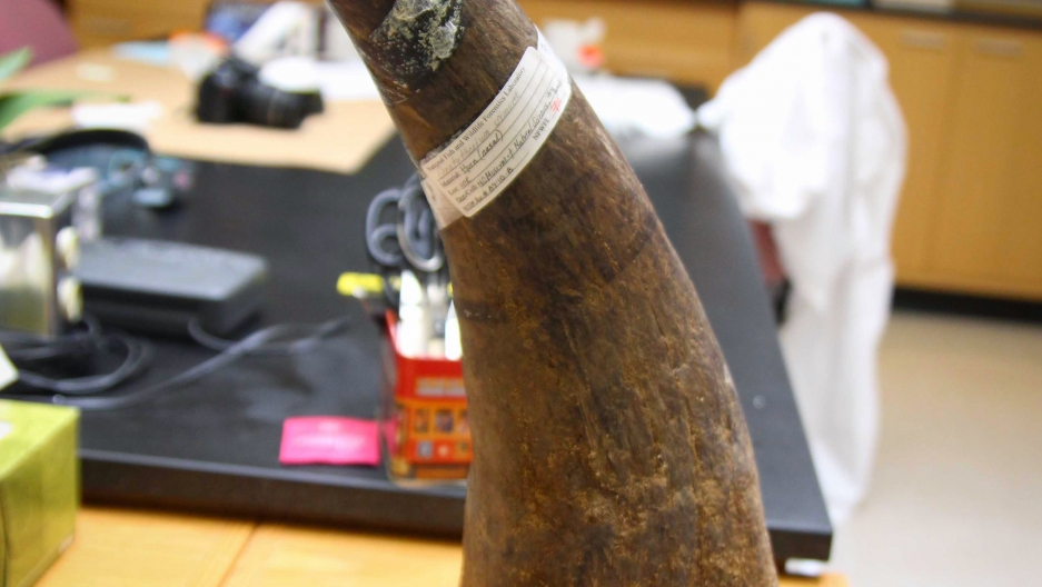 Rhino horn used as a reference sample at the lab. This mass of keratin would likely fetch $150,000 on the black market.