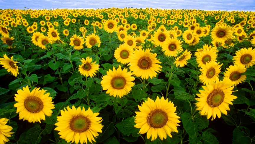 Sunflowers.jpg (864×487)