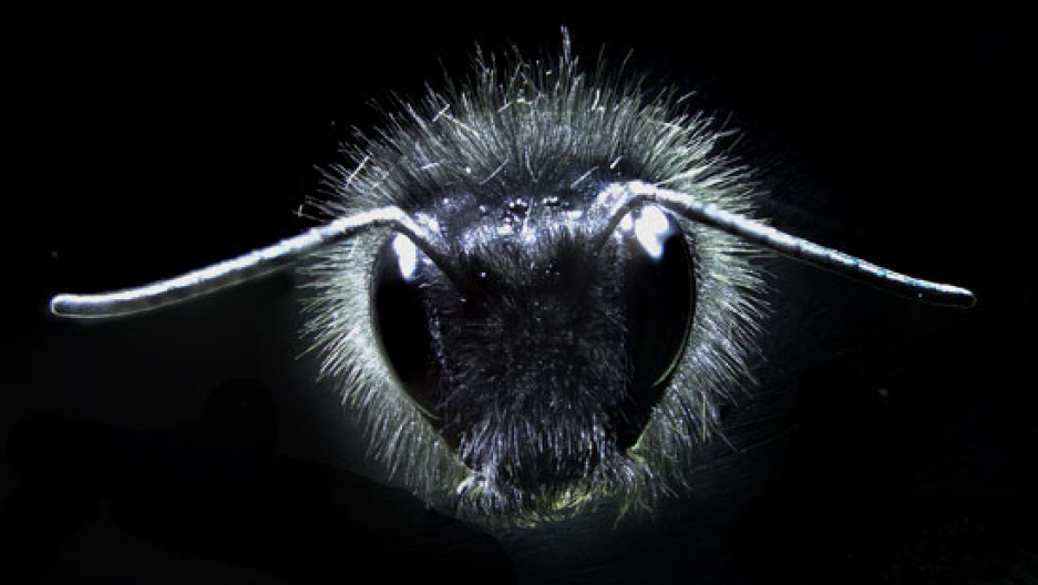Bumblebee showing the array of hairs on its body. Image courtesy of Gregory Sutton, Dom Clarke, Erica Morley, and Daniel Robert