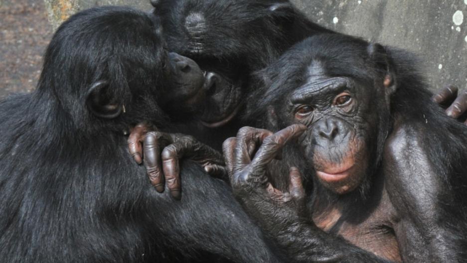 Bonobo chimps homosexual
