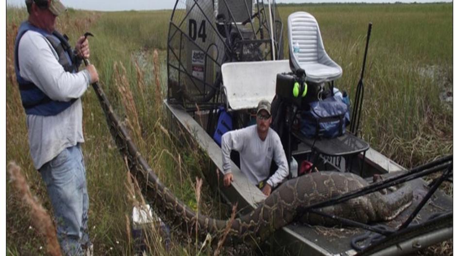 Record-breaking Burmese python captured in Florida