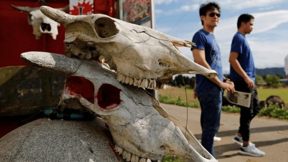 irradiated cattle skulls in Japan as tourists explore Fukushima