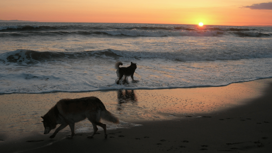 dogs at sunset in the surf