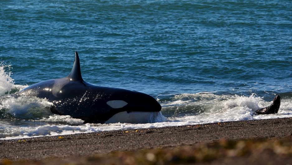 A orca lands on the beach to catch a baby sea lion