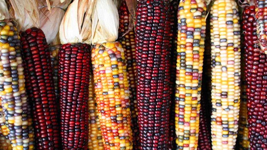 Colorful red and purple maize ears.