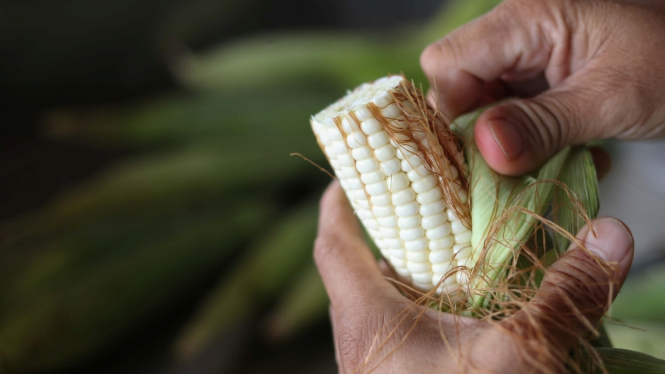 closeup of hands shucking corn