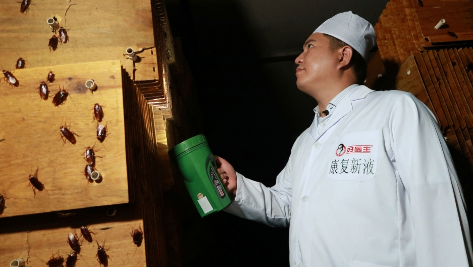 A man in a white uniform shines a light into the cardboard where cockroaches are being farmed. On his left are a dozen large bugs.