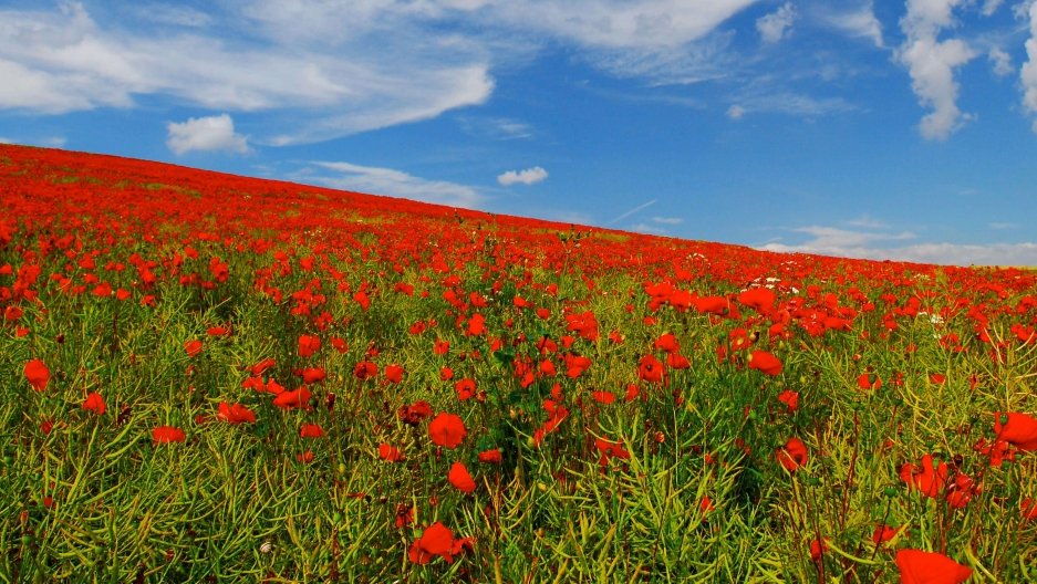 Red poppies in green grass under a blue sky.