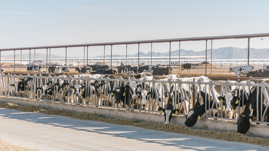A row of dairy cows