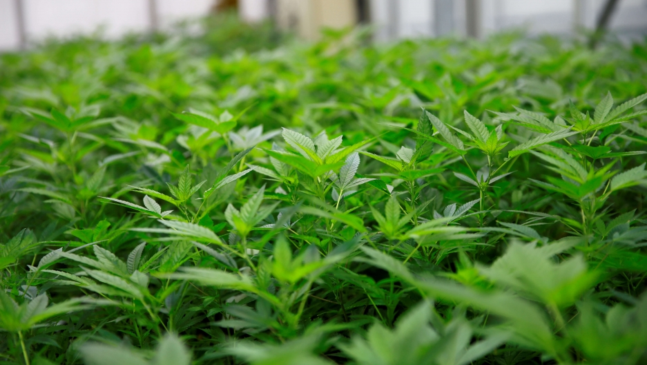 Close up of cannabis plants seen in a greenhouse at the headquarters of AGES agency in Vienna, Austria.