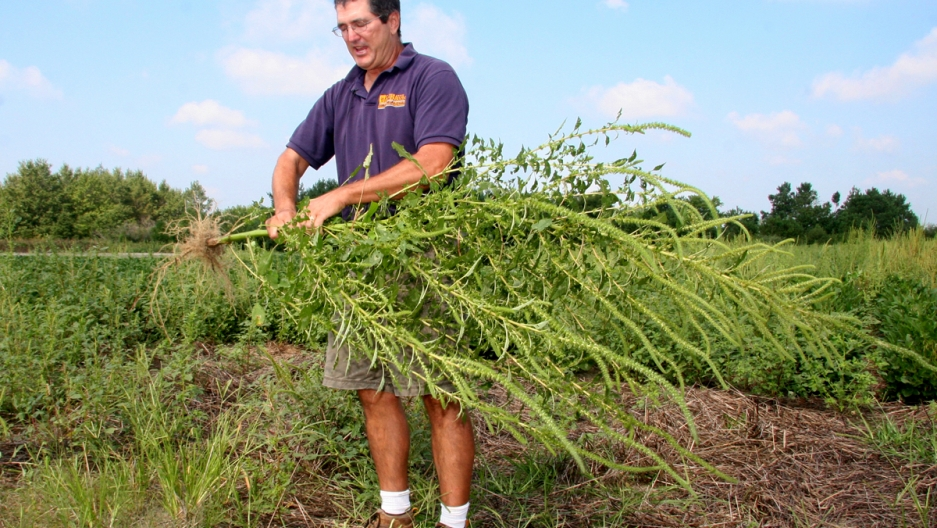A man holds a large weed in his hands