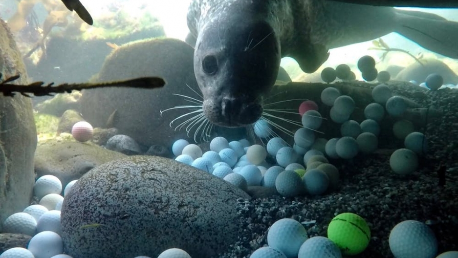 an underwater shot of a seal looking at golf balls