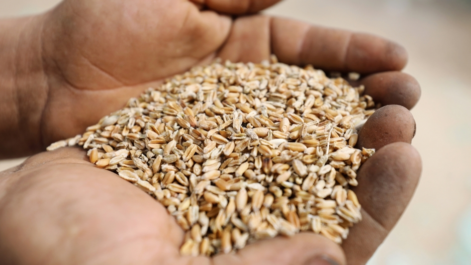 A farmer displays wheat grains at a field in the El-Menoufia governorate, north of Cairo, Egypt May 1, 2019. REUTERS/Mohamed Abd El Ghany