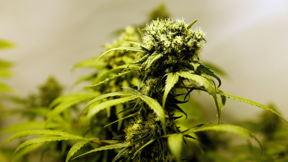 According to the State Department Jamaica is the largest Caribbean supplier of illegal pot to the United States.
