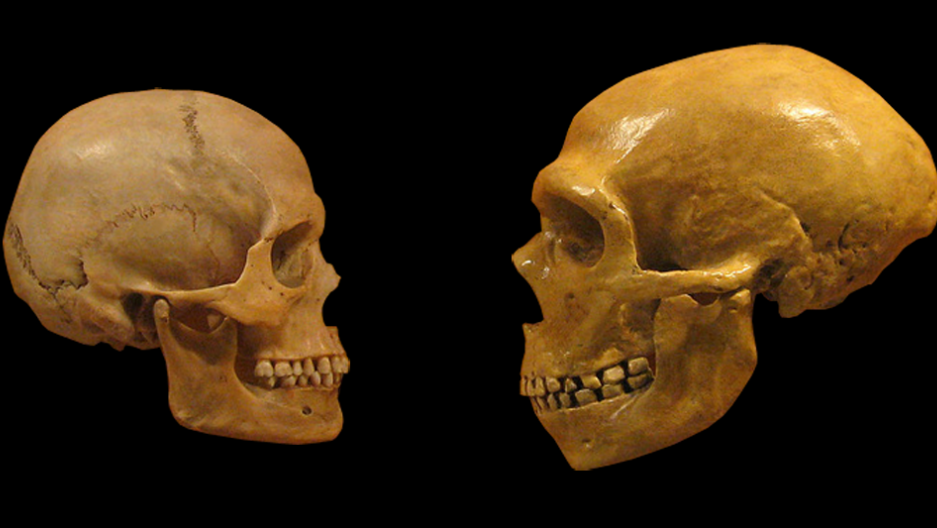 A modern human skull (left) and a Neanderthal skull (right) at the Cleveland Museum of Natural History.
