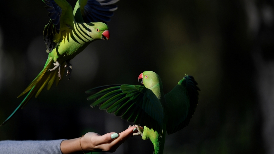 two parakeets in a london park