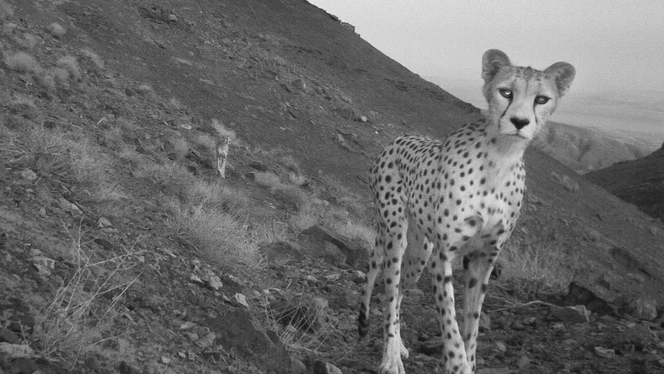 A black and white photo of a cheetah with mountainous terrain behind