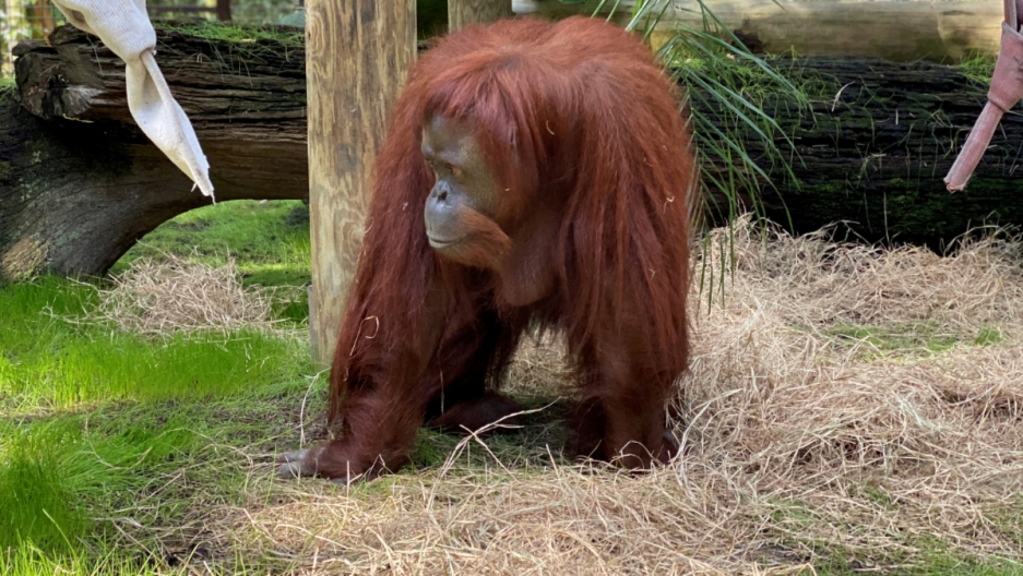 A red-haired orangutan eats grasses