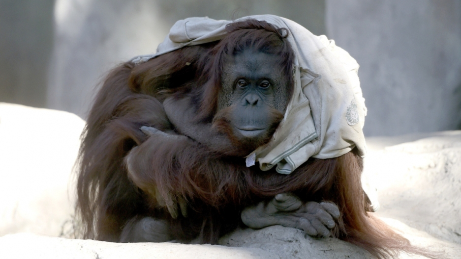 An orangutan looks at the camera.
