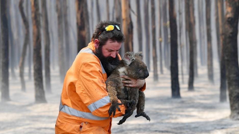 A wildlife rescuer carries a Koala.