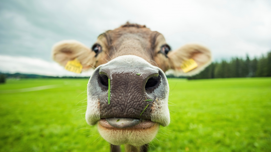 Research at The University of Sydney in Australia suggests cows have individual voices, and they talk to each other.