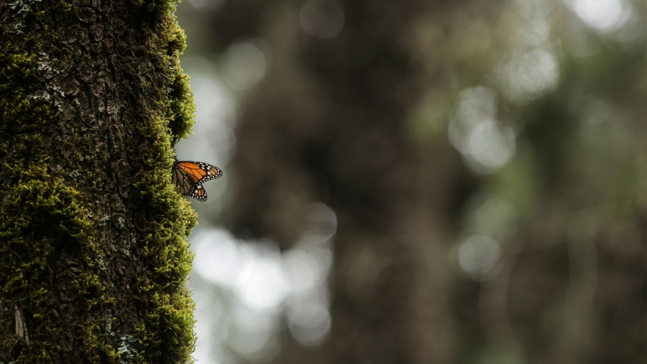 A monarch butterfly is seen at El Rosario sanctuary for monarch butterflies in the western state of Michoacan, near Ocampo, Mexico, Feb. 3, 2020.