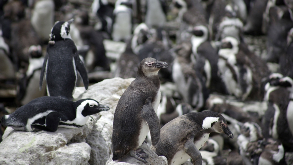 Dozens of African penguins are shown standing and laying on rocks.