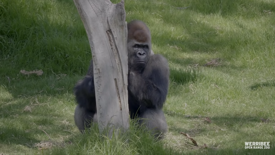 A gorilla appears sitting on green grass near a tree