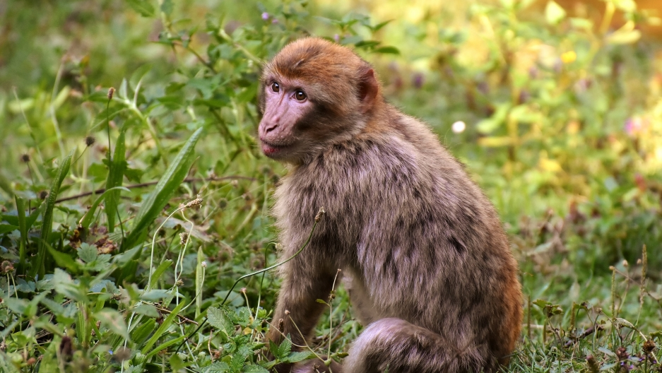 Barbary macaque endangered