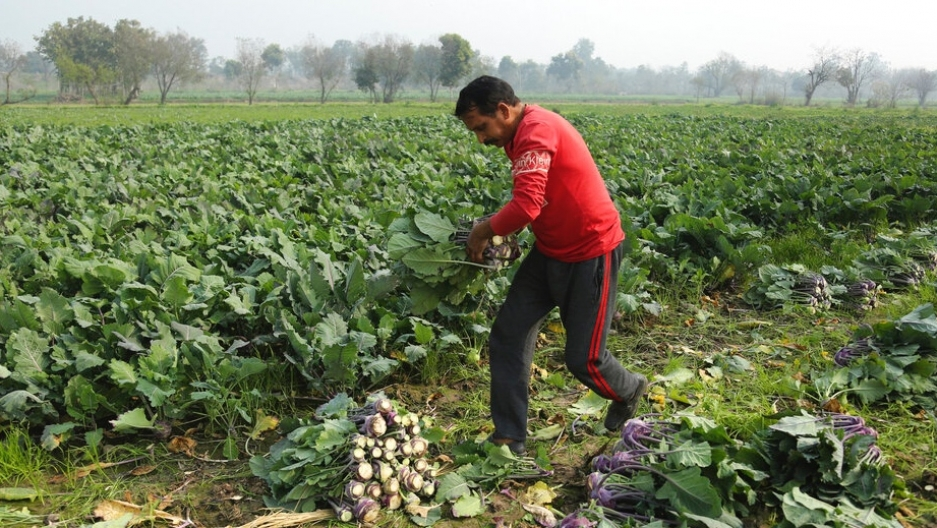 An Indian farmer harvests vegetables from a field in Kanachak village, on the outskirts of Jammu, India, Tuesday, Feb. 9, 2021.