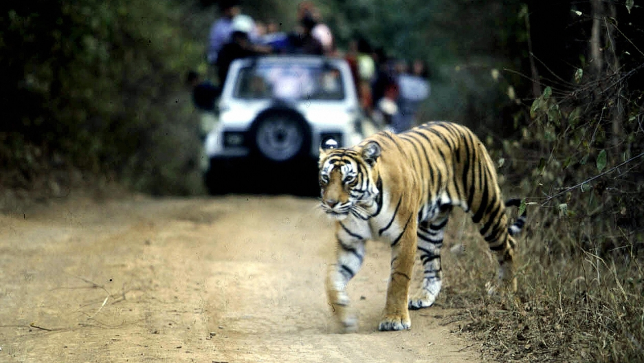 A tiger crosses a road in India's Ranthambore National Park.