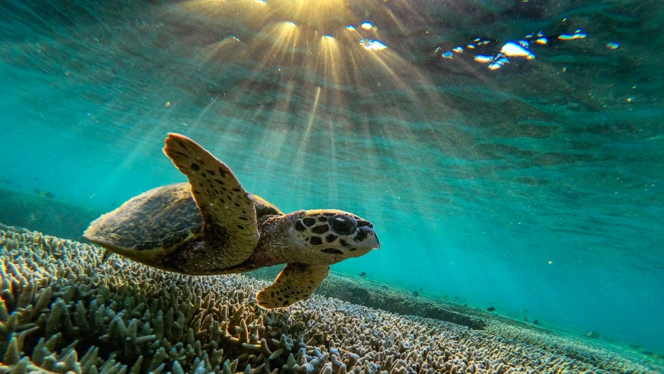 A large sea turtle is shown swimming just above the coral reef in a photograph taken from below the animal and the light of the sun above.