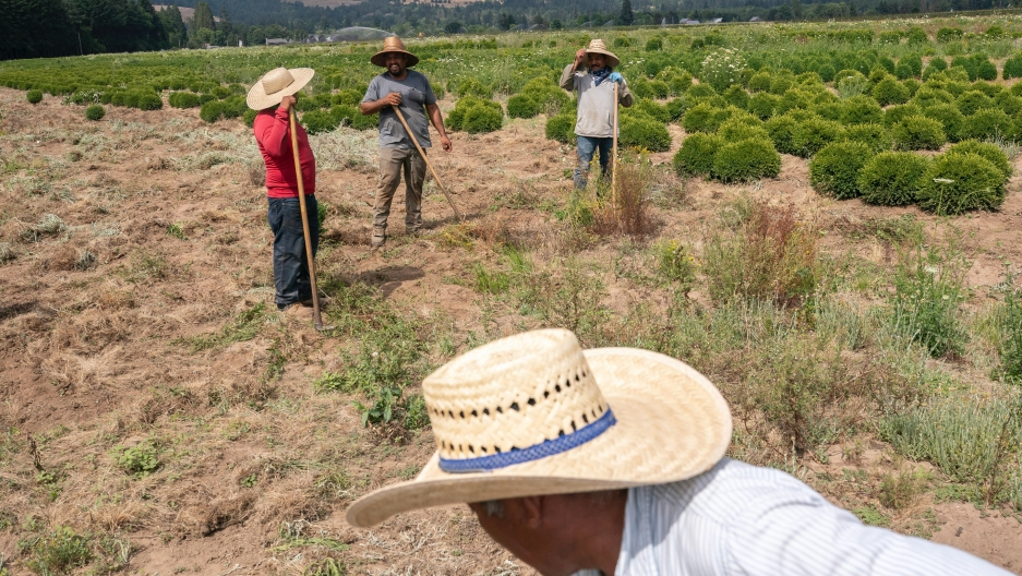 Farmworkers, who declined to give their names, break up earth, July 1, 2021, near St. Paul, Oregon.