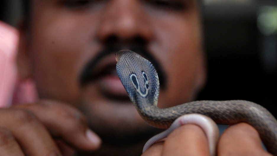 India: Angry snake charmer releases cobras in tax office