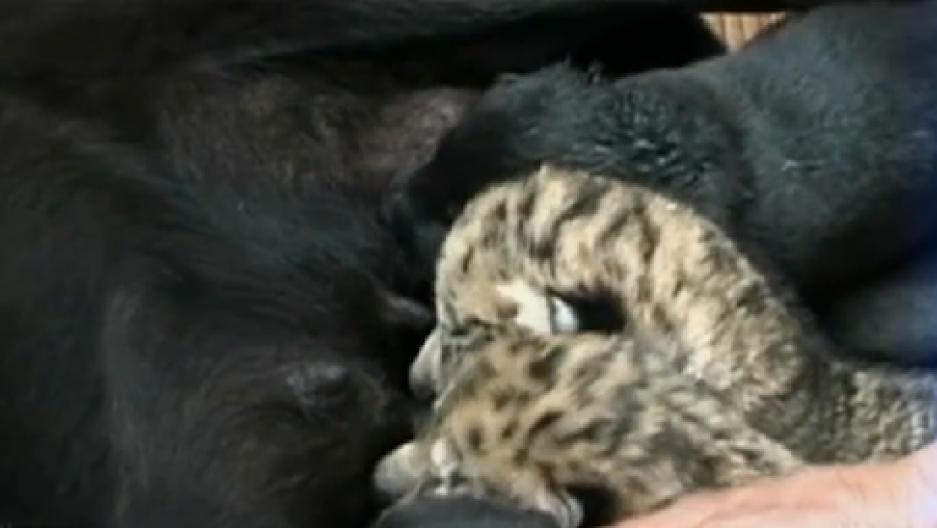 Tiger-Lion hybrids, called