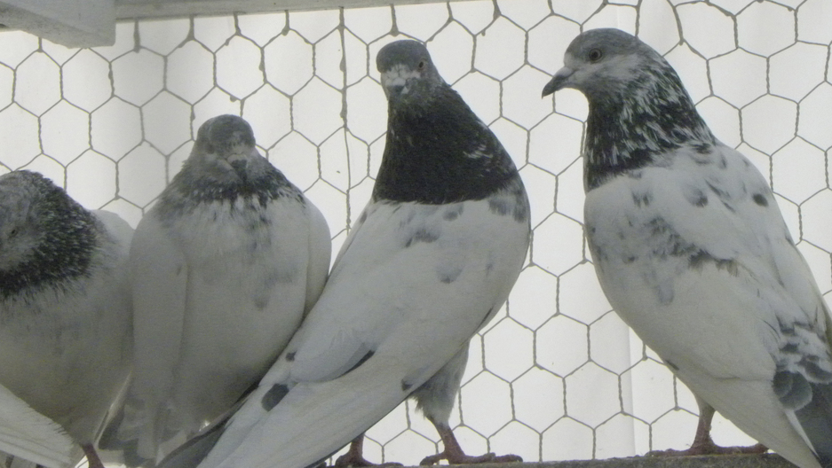 Pigeon Tending on the Rise in New York  e2bd6b15e