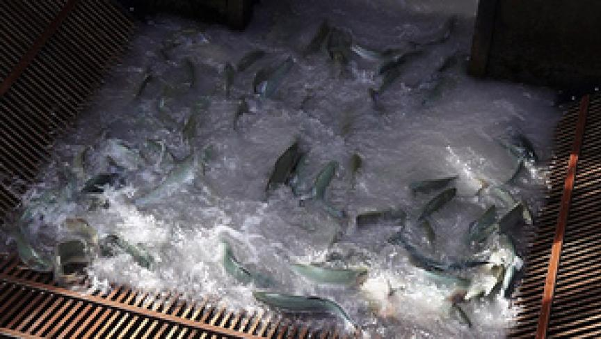 Aging dam in Washington State a death trap for spawning fish